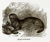 Polecat-Ferret