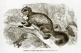 Taguan flying Squirrel