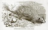 Tufted tailed Porcupine