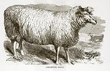 Leicester Sheep