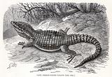 Cape girdle tailed Lizard