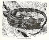 Ring tailed Iguana