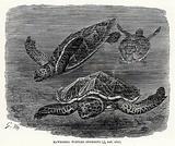 Hawksbill Turtles swimming