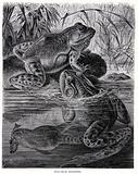 Bull Frogs disporting