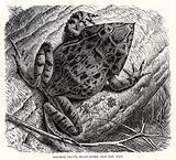 Solomon Island sharp nosed Frog