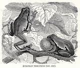 European Tree Frogs