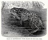Male or midwife Frog with chains of eggs