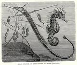 Great pipe fish and short snouted sea horse