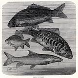 Group of Carp