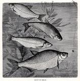 Group of Bream