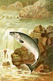 A Salmon leap