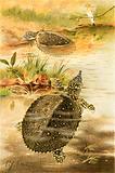 Soft river tortoises
