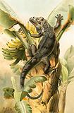 The black Iguana