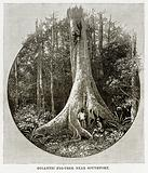 Gigantic Fig-Tree near Southport