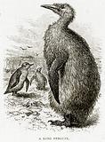 A King Penguin