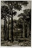 Italican Environment. – Pine Forest of Ravenna.