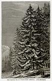 The Spruce Fir of North-West America. (Abies Menziesii).