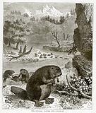 Fur Animals: Beavers (Castor Canadensis)