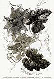 The Passion-Flower of Peru (Passiflora Crispa. Var. Suaveolens)