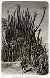 Clump of Cacti in the Desert of Atacama