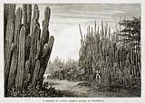 A Thicket of Cactus (Cereus Dyckii) in Guatemala