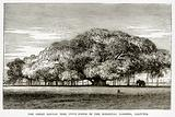 The Great Banyan Tree (Ficus Indica) in the Botanical Gardens, Calcutta