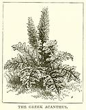 The Greek Acanthus