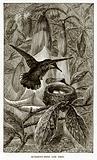 Humming-Bird and nest
