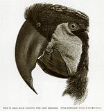 Head of Great Black Cockatoo, with Crest Depressed