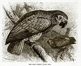The Grey Parrot