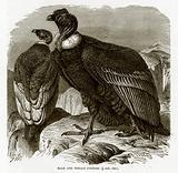 Male and Female Condors