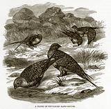 A Flock of Pin-Tailed Sand-Grouse