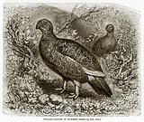 Willow-Grouse in Summer Dress