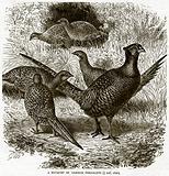 A Bouquet of Common Pheasants