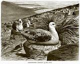 Albatrosses Nesting