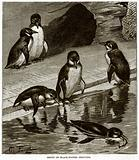 Group of Black-Footed Penguins