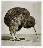 Kiwi Feeding