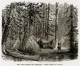 The Woods before the Emigrant: Virgin Forest in Canada