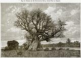 Baobab on the Kotubadinta River, South-West of Bamaku