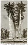 The Great Avenue of Palms in the Botanical Gardens