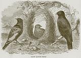 Satin Bower-Birds