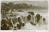 Hippopotami at the Falls of the Senegal, in Bambouk
