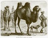 On the Steppes – Camels and Tartars