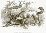Dingoes, or Australian Wild Dogs