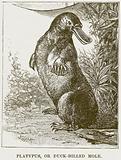 Platypus, or Duck-Billed Mole