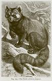The Panda (Ailurus Fulgens)