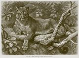 The Puma or Cougar (Felis Concolor)
