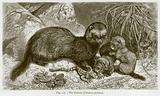 The Polecat (Purtorius Faetidus)