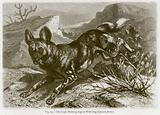 The Cape Hunting-Dog or Wild Dog (Lycaon Pictus)