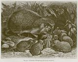 A Family of Hedgehogs (Erinaceus Europaeus)